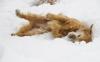 Caspare im Schnee