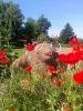 Maulwurf Mauli und die Mohnblüten